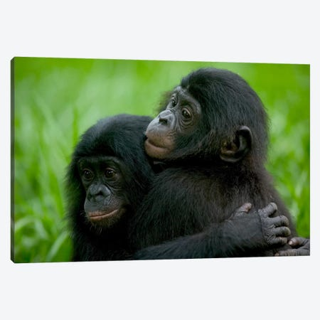 Bonobo Pair Of Orphans Hugging, Sanctuary Lola Ya Bonobo, Democratic Republic Of The Congo Canvas Print #CYR3} by Cyril Ruoso Canvas Print