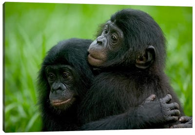 Bonobo Pair Of Orphans Hugging, Sanctuary Lola Ya Bonobo, Democratic Republic Of The Congo Canvas Art Print