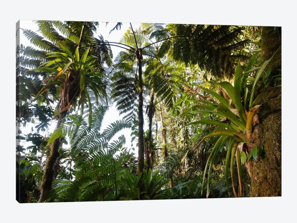 Bromeliad And Tree Fern At 1600 Meters Altitude In Tropical Rainforest, Sierra Nevada De Santa Marta National Park, Colombia I by Cyril Ruoso 1-piece Canvas Wall Art