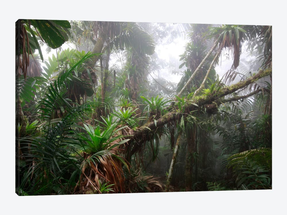 Bromeliad And Tree Fern At 1600 Meters Altitude In Tropical Rainforest, Sierra Nevada De Santa Marta National Park, Colombia II by Cyril Ruoso 1-piece Canvas Art Print