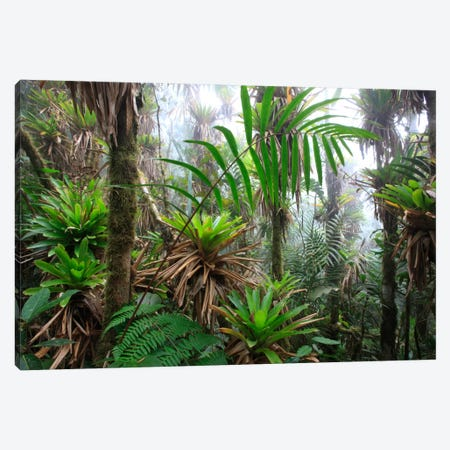 Bromeliad And Tree Fern At 1600 Meters Altitude In Tropical Rainforest, Sierra Nevada De Santa Marta National Park, Colombia III Canvas Print #CYR6} by Cyril Ruoso Canvas Artwork