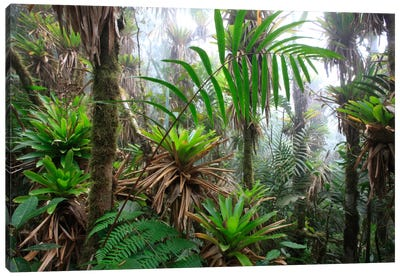 Bromeliad And Tree Fern At 1600 Meters Altitude In Tropical Rainforest, Sierra Nevada De Santa Marta National Park, Colombia III Canvas Art Print