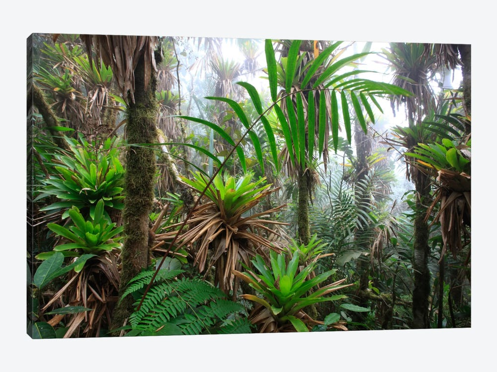 Bromeliad And Tree Fern At 1600 Meters Altitude In Tropical Rainforest, Sierra Nevada De Santa Marta National Park, Colombia III by Cyril Ruoso 1-piece Canvas Artwork
