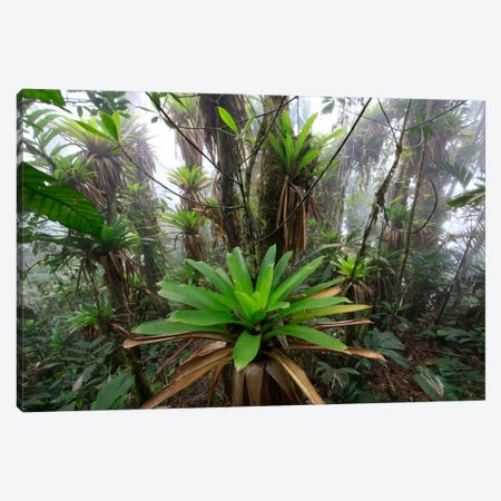 Bromeliad And Tree Fern At 1600 Meters Altitude In Tropical Rainforest, Sierra Nevada De Santa Marta National Park, Colombia IV Canvas Print #CYR7} by Cyril Ruoso Canvas Artwork