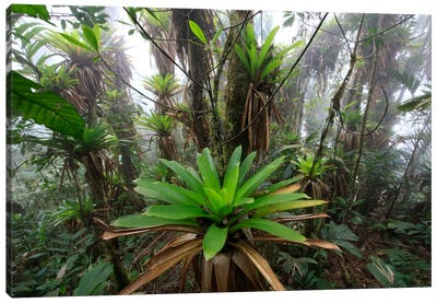 Bromeliad And Tree Fern At 1600 Meters Altitude In Tropical Rainforest, Sierra Nevada De Santa Marta National Park, Colombia IV Canvas Art Print