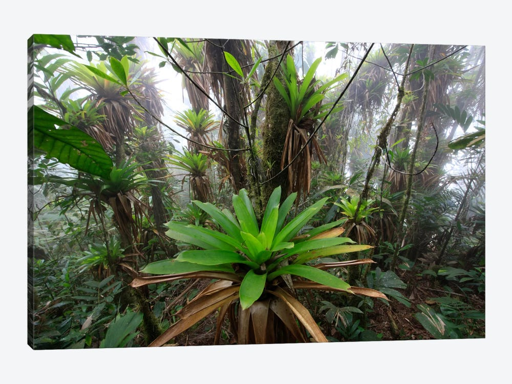 Bromeliad And Tree Fern At 1600 Meters Altitude In Tropical Rainforest, Sierra Nevada De Santa Marta National Park, Colombia IV 1-piece Art Print