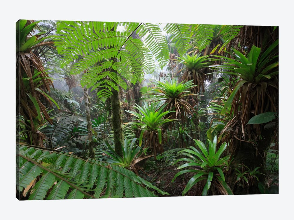 Bromeliad And Tree Fern At 1600 Meters Altitude In Tropical Rainforest, Sierra Nevada De Santa Marta National Park, Colombia V by Cyril Ruoso 1-piece Canvas Art