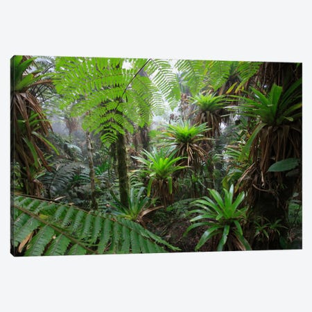 Bromeliad And Tree Fern At 1600 Meters Altitude In Tropical Rainforest, Sierra Nevada De Santa Marta National Park, Colombia V Canvas Print #CYR8} by Cyril Ruoso Art Print