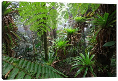 Bromeliad And Tree Fern At 1600 Meters Altitude In Tropical Rainforest, Sierra Nevada De Santa Marta National Park, Colombia V Canvas Art Print