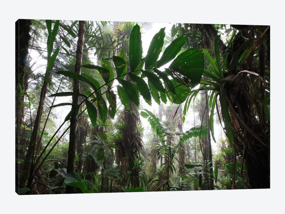 Bromeliad And Tree Fern At 1600 Meters Altitude In Tropical Rainforest, Sierra Nevada De Santa Marta National Park, Colombia VI by Cyril Ruoso 1-piece Canvas Print