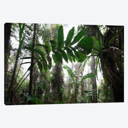 Bromeliad And Tree Fern At 1600 Meters Altitude In Tropical Rainforest, Sierra Nevada De Santa Marta National Park, Colombia VI Canvas Print #CYR9} by Cyril Ruoso Canvas Art Print