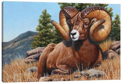Bighorn Sheep Quick Draw Canvas Art Print