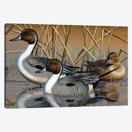 Pintail Trio Canvas Print #CYT153} by Cynthie Fisher Canvas Artwork