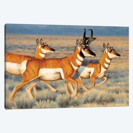 Pronghorns Running Canvas Print #CYT159} by Cynthie Fisher Canvas Artwork