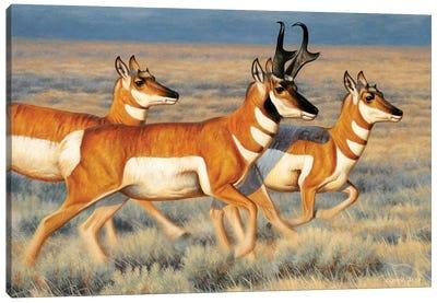 Pronghorns Running Canvas Art Print