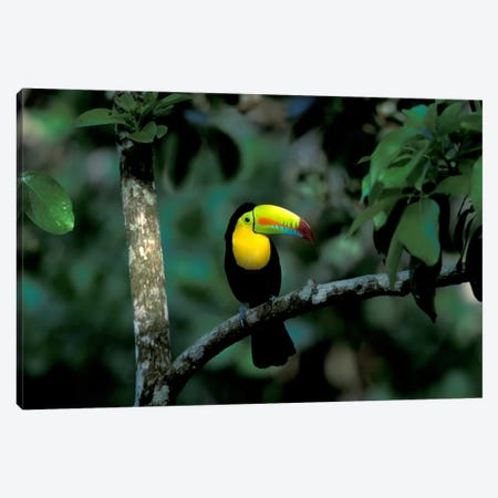 Keel-Billed Toucan, Soberania National Park, Panama Canvas Print #CZI1} by Christian Ziegler Canvas Art