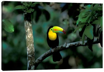 Keel-Billed Toucan, Soberania National Park, Panama Canvas Art Print