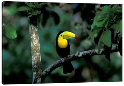 Keel-Billed Toucan, Soberania National Park, Panama Canvas Art Print