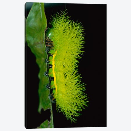 Cup Moth Caterpillar Has Poisonous Spines For Protection, Barro Colorado Island, Panama Canvas Print #CZI3} by Christian Ziegler Canvas Artwork