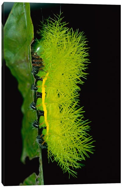 Cup Moth Caterpillar Has Poisonous Spines For Protection, Barro Colorado Island, Panama Canvas Art Print