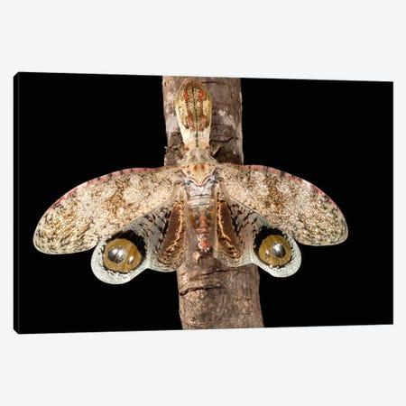Lantern Bug With False Eye Spots On Its Wings, Barro Colorado Island, Panama Canvas Print #CZI6} by Christian Ziegler Canvas Art Print