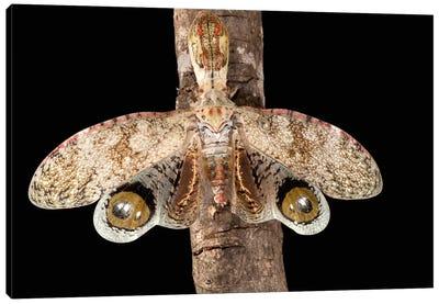 Lantern Bug With False Eye Spots On Its Wings, Barro Colorado Island, Panama Canvas Art Print
