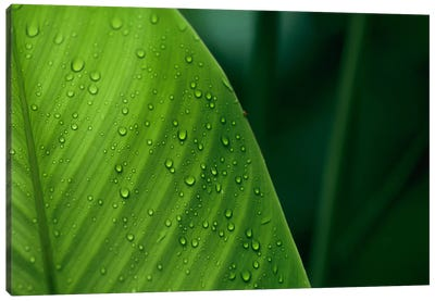 Leaf With Water Drops, Barro Colorado Island, Panama Canvas Art Print