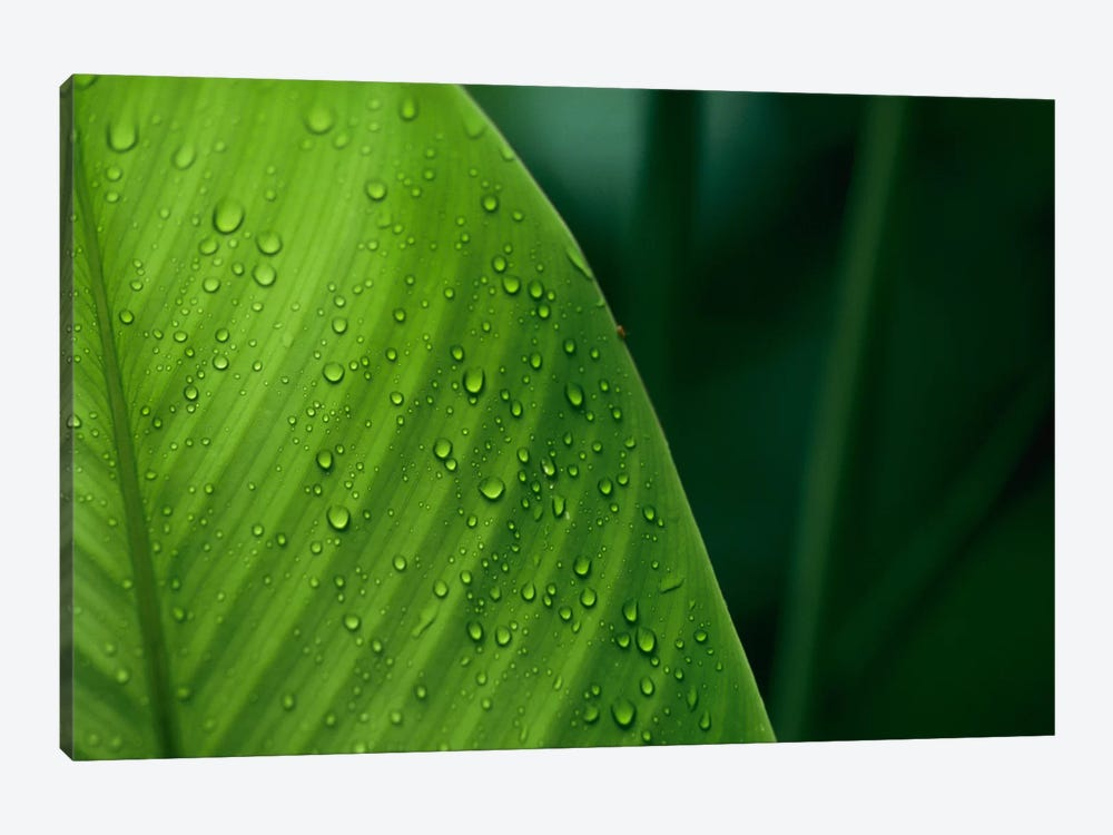 Leaf With Water Drops, Barro Colorado Island, Panama 1-piece Canvas Artwork