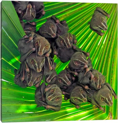A Group Of Peters' Tent-Making Bats Roosting Under A Large Leaf, Barro Colorado Island, Panama Canvas Art Print