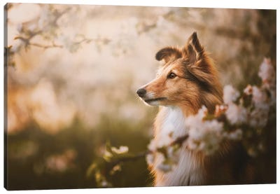 Lana In Cherry Blossom III Canvas Art Print