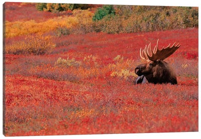 Bull Moose, Denali National Park & Preserve, Alaska, USA Canvas Art Print