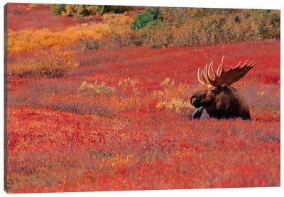Bull Moose, Denali National Park & Preserve, Alaska, USA Canvas Art Print
