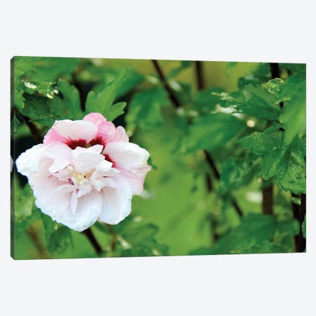 Rose Of Sharon Canvas Print #DAW66} by Darlene Watson Canvas Wall Art