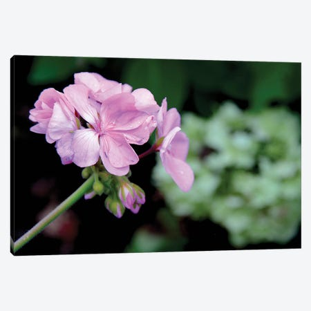 Tiny Pink Geranium Canvas Print #DAW73} by Darlene Watson Canvas Artwork