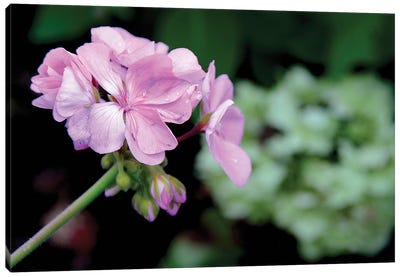 Tiny Pink Geranium Canvas Art Print