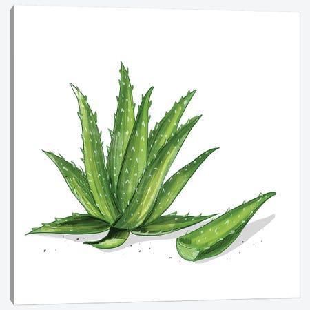 Aloe Vera Canvas Print #DAY53} by Amber Day Canvas Artwork