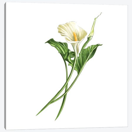 Calla Lily Canvas Print #DAY8} by Amber Day Canvas Print