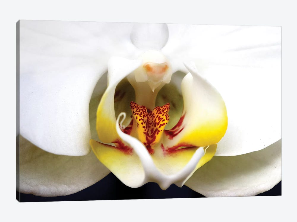 Dove Orchid by Dana Brett Munach 1-piece Canvas Artwork