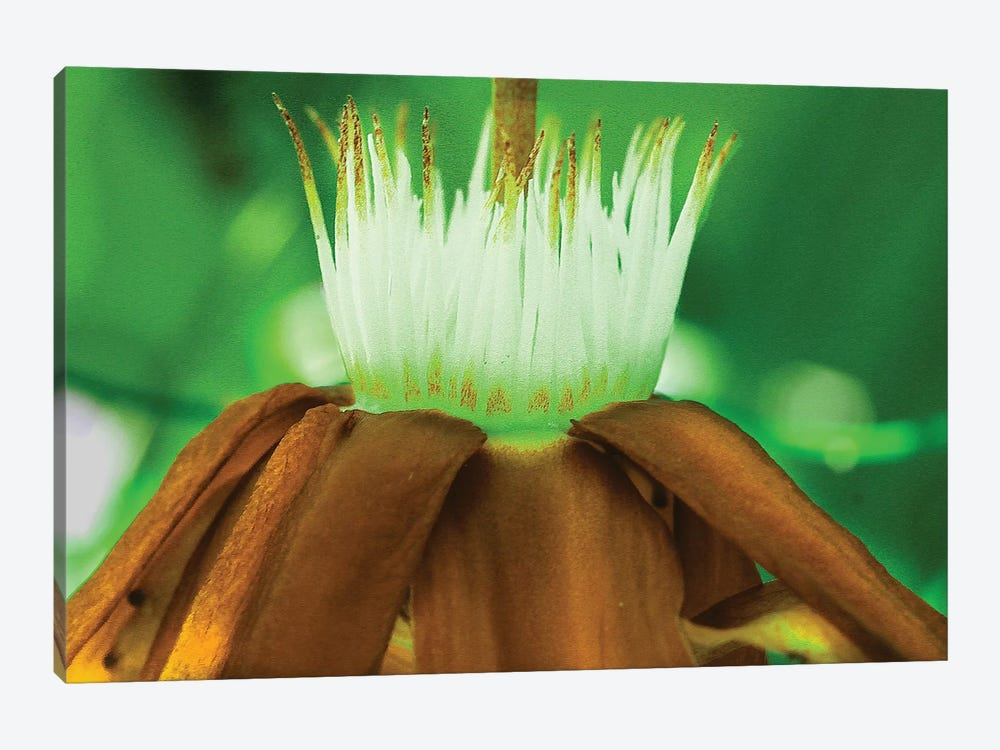 Golden Water Lilly by Dana Brett Munach 1-piece Canvas Art