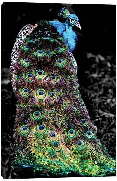 Peacock At Night Canvas Art Print