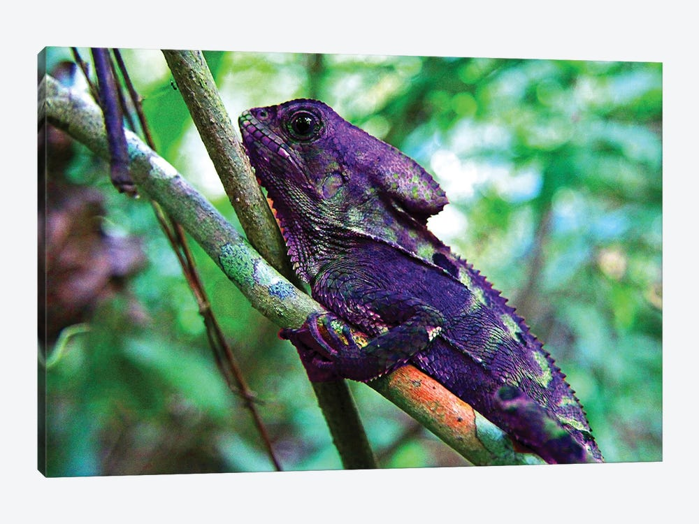 Purple Iguana by Dana Brett Munach 1-piece Canvas Art Print