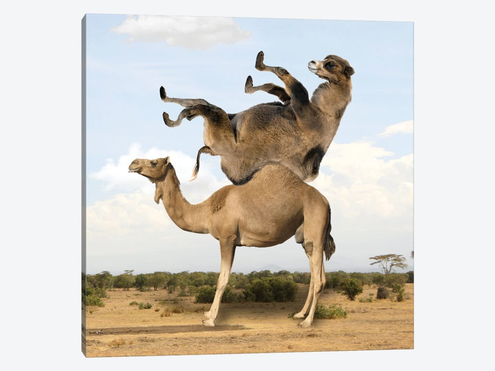 Camelpazl by Dmitry Biryukov 1-piece Canvas Print