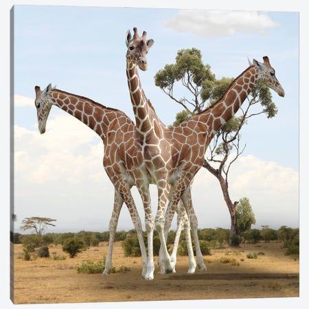 Giraffes Canvas Print #DBY48} by Dmitry Biryukov Canvas Art Print