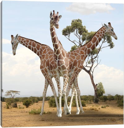 Giraffes Canvas Art Print