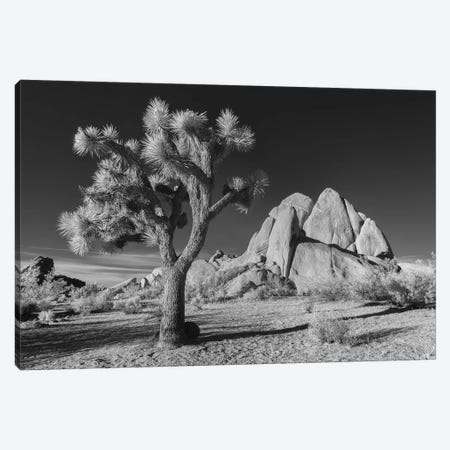 California Joshua Tree X Canvas Print #DCL10} by David Clapp Photography Limited Canvas Art