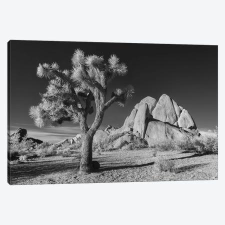 California Joshua Tree X Canvas Print #DCL10} by David Clapp Canvas Art