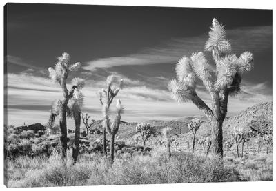 California Joshua Tree XIII Canvas Art Print