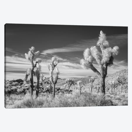 California Joshua Tree XIII Canvas Print #DCL11} by David Clapp Canvas Art
