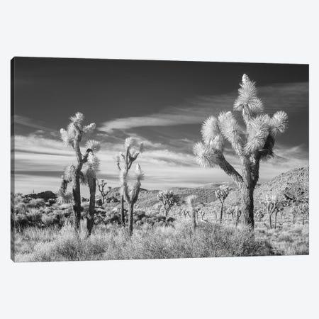California Joshua Tree XIII Canvas Print #DCL11} by David Clapp Canvas Art