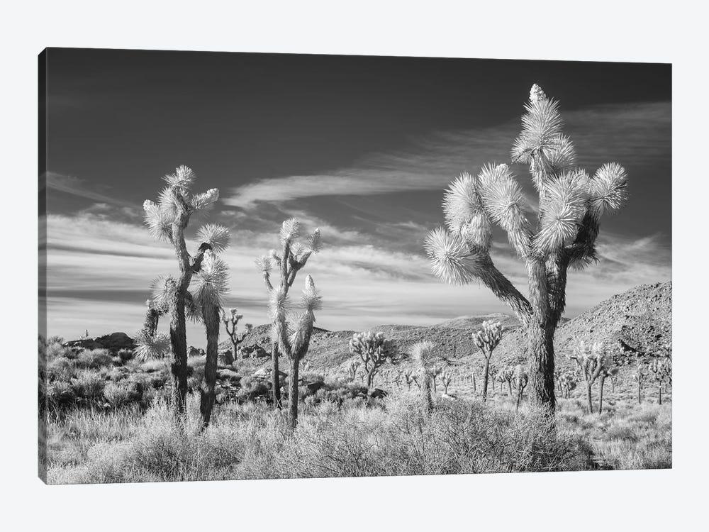 California Joshua Tree XIII by David Clapp 1-piece Canvas Print